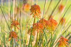 Sunny Poker,s. (Omygodtom) Tags: plant kitlens 18105lens nikon nikkor bright wild wildflower flower flickr outside natural nature ngc ngs dof d7100 contrast digital diamond pov f 36 shutter art abstract f36 7dwf coth5 flicker leica zeiss