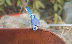 Hello Bluejay (Moon Rhythm) Tags: passerine bluejay birdwatch bird thruthewindow pondlife pondgarden cyanocittacristata songbird morning morningalarmclock intelligent backyard backyardnature 10yearsinthemaking yippee windowdressing naturewatch feeder maryland easternshore brightbluewings blackbill bluecrest bluewhiteblackplumage blackcollar feederwatch data birddata bluejayid throatpouch yardbirds curious behavior birdbehavior familybonds blackbridle noisycalls mimics mimicshawkcalls delighted ilovebirds 38075h8