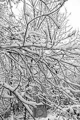 Neige & branche (fred bmx mairet) Tags: nature neige enneigé snow snowing hiver arbre plante natural naturephotography photo photography white blanc cold froid glacé ice iced