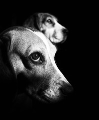 frank and min (colskiguitar) Tags: beagle dogportrait pet hound dog petportrait flickrbeagles blackandwhite bnw monochrome aberdeenbeagles