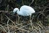 Little Egret (Habitualmurph) Tags: canon70d sigma120400mm birds wildlife ireland kildare littleegret