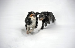 A Day Of Merriment (LupaImages) Tags: dogs canine race play friendly merry merriment run snow winter coldice white february animal love nature snowstorm outdoors outside