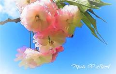 369. PAINTERLY 17: Sakura Sweet Spring Song (Meili-PP Hua 2) Tags: flower blossom sakura cherryblossom petal petals blooms plant tree shrub pinksakura sky blue whitesakura cherryblossoms spring bluesky leaves twigs branches frills pinkfrills pastel pinkflowerfrills flowerfrills multilayeredpetals sakuramultilayeredpetals delicate pale dreamy pastels pastelcolours mulitlayeredpetals light bright photographypassionsxyz mlpphflora