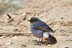 Plumbeous Redstart 紅尾水鴝 鉛色水鶇 (Jeffreycfy) Tags: birds birding nature wildlife animals plumbeousredstart thrushes rhyacornisfuliginosus turdidae nikon d500 nikkor200500mmf56e tc14eiii 鶇科 紅尾水鴝 鉛色水鶇