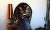 ... stretching for Alice (Alfredo Liverani) Tags: happy caturday happycaturday happinessis canong5x canon g5x pointandshoot point shoot ps flickrdigital flickr digital camera cameras europa europe italia italy italien italie emiliaromagna romagna faenza faventia faience animal kitten gatto gatta gatti gatte cat cats chats chat katze katzen gato gatos pet pets tabby furry kitty moggy moggies gattino animale ininterni animaledomestico aliceellen alice ellen