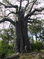 2000 year old baobab, Impalila Island, Namibia