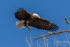 Bald Eagle approach and landing - 19 of 27