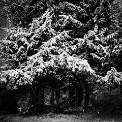 Лапы / The Paws (Yuri Balanov) Tags: winter snow monochrome bw blackandwhite bwphoto russia blizzard samsung wind samsunggx1s