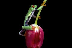 Red-Eyed Tree Frog, CaptiveLight, Bournemouth, Dorset, UK