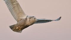 DSC_9887_edit (Hanzy2012) Tags: toronto ontario canada lesliestreetspit tommythompsonpark d500 afsnikkor500mmf4difedii bird wildlife snowyowl buboscandiacus