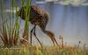 Limpkin at Water's Edge (tclaud2002) Tags: limpkin bird wadingbird wildlife nature mothernature outdoors windingwaters naturalarea windingwatersnaturalarea westpalmbeach palmbeach florida