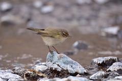 Luì piccolo _012 (Rolando CRINITI) Tags: luìpiccolo uccelli uccello birds ornitologia natura genova pegli
