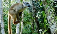 Common Brown Lemur (Eulemur collaris) (Susan Roehl) Tags: madagascar2017 islandofmadagascar offtheeastcoastofafrica palmariumreserve unknownlemur primate animal mammal prosimian primates mostendangeredanimalsonearth 105species widerangeofsizes drydeciduousforests spinyforests rainforests wetlands mountains verysocial liveintroops nocturnal diurnal dependingonsize grooming sunbathe herbivore omnivore babiescalledpups weanedthreetosixmths canlive30years sueroehl photographictours naturalexposures panasonic lumixdmcgh4 35x100mmlens handheld cropped tree forest ngc coth5 npc