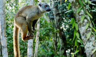 Common Brown Lemur (Eulemur collaris)