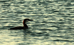 Loon in the Gulf (Sunshynest8) Tags: bird loon wildlife water navarrebeach