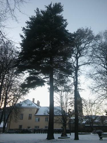 Pinus strobus 20180118_160628