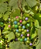 Wild Gapes (Scott 97006) Tags: grapes vine colors growing different unusual odd rare visual taste