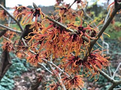 hamamelis intermedia Jelena (Petersham Plantsman) Tags: hamamelis intermedia jelena