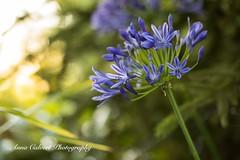 Blue Agapanthus (Anna Calvert Photography) Tags: floral flowers garden macro macrophotography mygarden nature naturephotography petals plants agapanthus blue