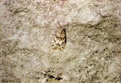 Eudonia mercurella on Portland stone (Philip_Goddard) Tags: nature naturalhistory animals invertebrates insecta insects lepidoptera moths crambidae eudonia eudoniamercurella portlandica europe unitedkingdom britain british britishisles greatbritain uk england southwestengland dorset