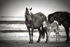Wild about baby (azwoogie) Tags: wildhorses horse horses pony beach corolla corollanc corollanorthcarolina outerbanks brownhorse atlantic ocean blanconegro blackwhite blackandwhite bw sepia