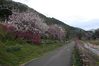Peach flowers in Narai(奈良井宿の桃の花)