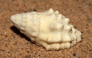 Horn drupe snail (Drupella cornus)