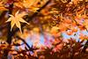 Star (Scriblerus) Tags: leaves autumn autumnal memphisbotanicgarden japanesemaple