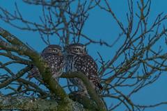 Athene Noctua / Little Owl (eric-d at gmx.net) Tags: littleowl owl eule strigidae steinkauz kauz athenenoctua eric ngc wildlife birds