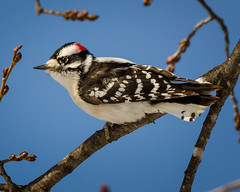 Downy Woodpecker (corkemup52) Tags: fairbury fairburyne downywoodpecker woodpecker wildlife birds nebraska nature nikond7000 200500 crystalsprings outdoors