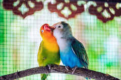 Couple (ongushi) Tags: parrot parakeet popinjay cockatoo instagram beautifulday beautifulphoto animals birds cute fly bird eagles birdlovers instafollowers instanature beautifuleyes animallovers fairywren igersoftheday wings instagrammer followme instagramer instafollowme igfollowers instafamous instapic shoutouts flying iger instapicture followalways followus m43 lumix panasonic thailand animal cloud sky bangkok wing olympus ongushi ongie sparrow lovebird 35100