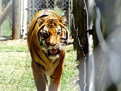 Jukani Wildlife Sanctuary (michelnocture) Tags: tigre