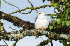 Elanion blanc (quercyanimalier) Tags: elanionblanc blackwingedkite