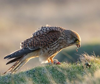 Kestrel with its tea , mouse
