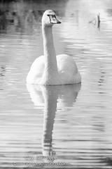 BHP08017 (GabriolaBill) Tags: swan swans bird birds nelder pond gabriola island gabriolaisland bc british columbia canada salish sea salishsea nature wildlife birdlife water sony a7r2 a7rii a7rm2 a7rmii 100400mm gm gmaster