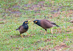 common-myna-5432 (jkbodkin) Tags: myna commonmyna hawaii hilo
