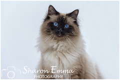 Snow Cat (Sharon Emma Photography) Tags: snow snowcat thoseeyes moriarty mori ragdoll ragdolls pedigree pointed sealpoint colourpoint colorpoint boy longhaired kitten baby cat domesticcat domesticated pet petcat blueeyes cute floppy adorable placid gorgeous beautiful cuddly affectionate fluffy friendly loving sensitive intelligent loyal annbaker breeder sussex england britain uk nikon nikond7200 sharonemmagoldring sharonemmaphotography sharondowphotography march2018 2018