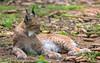 Lynx (Maryna K.) Tags: animal lynx bigcat animalplanet