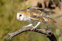 Barn Owl (dpsager) Tags: arizona arizonasonoradesertmuseum bird dpsagerphotography tucson barnowl owl saariysqualitypictures