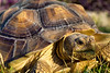 18/365 (hopeliesinproles) Tags: tortoise sulcata shell turtle animal nature wild african spur thigh