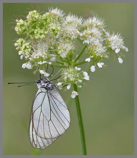 Black-veined White (Aporia crataegi)...