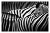 Einer muss immer vorwitzig sein (ellen-ow) Tags: zebra zooduisburg tier säugetier zoos blackandwhite schwarzweis monochrome animal ellenow nikond5 struktur streifen