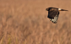 MarshHawkInFlight1 (Rich Mayer Photography) Tags: marsh hawk hawks animal animals fly flying flight avian nature wild life wildlife bird birds nikon