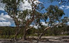 Eucalyptus prava (dustaway) Tags: myrtaceae eucalyptus eucalyptusprava orangegum australiantrees girraweennationalpark baldrockcreek granite rockplatform landscape australianlandscape granitebelt queensland australia nationalparksandnaturereserves