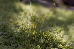 Moss, Green in Mid-Winter (brucetopher) Tags: moss green ancient forestfloor forest woods wood plant flora life living exuberant free light sunshine cold winter frost ice crystal rise grow growing