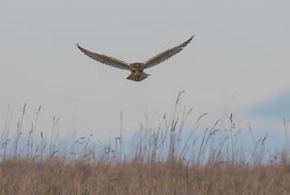 Short-Eared Owl Gloucestershire 17-02-2018-3827