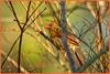Playing in the sprinklers ... (NancySmith133) Tags: northerncardinal breedingandnestingseason godsgarden frontyardbirds centralfloridausa sprinklers naturescarousel coth coth5