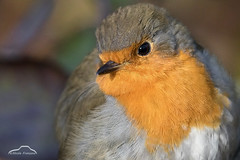 Winter Robin (Nicola Franzoso Naio) Tags: canon7dmarkii animali animal bird uccelli canonef300mmf28isii extender2x 600mm cacciafotografica casier parcodelfiumesile robin pettirosso natura nature veneto italia italy