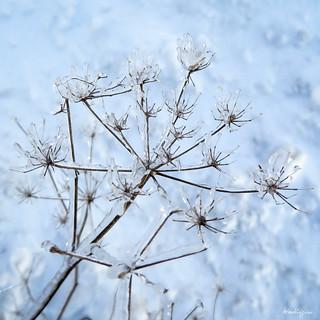 Icy Flower - Fleur glacée