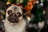 Myles's 1st Birthday! <3 (*DollyLove*) Tags: pug dog puppy bokeh birthday canon lights big eyes 100mm macro